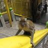 Специалисты из Пристонского университета объяснили, почему обезьяны не говорят