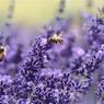 Исследователи: запах лаванды может помочь в борьбе с тревожными расстройствами