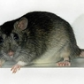 Крысы сорвали заседание парламента Бразилии