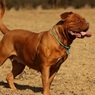 В Подмосковье собаки насмерть загрызли хозяйку-заводчицу