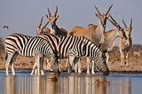 Почему зебры полосатые? (ФОТО)