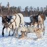 В Якутии после гонок на упряжках неизвестные застрелили 20 оленей