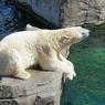 В эстонском зоопарке усыпили подаренного Россией белого медведя