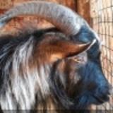 Козел Тимур, не желая жить отдельно от тигра Амура, попытался сбежать (ВИДЕО)