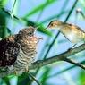 Уроки эволюции кукушек: наглость - второе счастье (ФОТО)