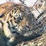 В поселке под Хабаровском  тигрица и два тигренка держат в страхе местных собак