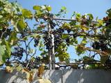 Красный виноград и черника усиливают иммунитет