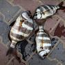 Рыба-зебра - настоящая рыба с зонтиком (ФОТО)