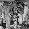 Бегемотам, змеям и тиграм запретят жить в городских квартирах