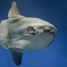 Чудо-юдо рыба-кит позволило снять себя на видео (ФОТО, ВИДЕО)