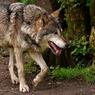 В Крыму волки начали нападать на человека