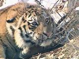 Жители Владивостока сообщили о гуляющем по городу амурском тигре (ВИДЕО)