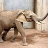 Почему слоны не болеют раком? (ФОТО)