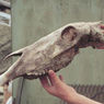 На Алтае обнаружены останки ослоподобной зебры денисовского человека