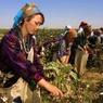 К приезду премьера Узбекистана местных жителей заставили обратно приклеивать хлопок