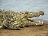 На наших прилавках может появиться мясо филиппинских крокодилов