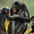 Ученые имплантировали человеческий ген в мозг обезьян