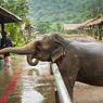 Таиланд: Разъяренный слон унесся с россиянками в джунгли