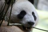 Панда съела снеговика, сделанного работниками зоопарка для новогоднего настроения