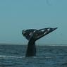 В Новой Зеландии удалось спасти только сотню из 400 китов, выбросившихся на берег