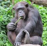 Шимпанзе в зоопарке демонстрирует азы пикапа