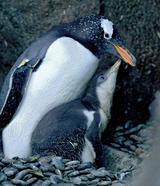 И пингвину песня строить и жить помогает (ВИДЕО)