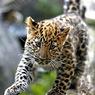 Сергей Иванов обещает вернуть в природу дальневосточных леопардов