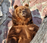 СКР: Медведь в Хабаровском крае убил охотника