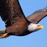 Белоголовый орлан устроил авиакатастрофу на Аляске