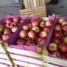 Молдавские яблоки вернутся на российские прилавки с четверга
