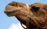 Верблюд откусил руку мужчине в Подмосковье