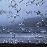 Орнитологи объяснили, почему птицы в небе никогда не сталкиваются