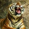 Дирекция зоопарка: Тигр Лотос, напавший на девочку, был адекватным