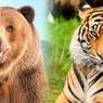 В Красноярске медведь и тигрица сделали прогноз по выборам в США