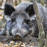 Мэр Риги в беспокойстве: по кладбищам бродят лесные свиньи