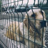Собак, загрызших мужа племянницы Юрия Лозы, поймали под Истрой