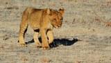 В Крыму в сафари-парке может погибнуть львенок, спасенный Филиппом Киркоровым