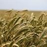 Итальянский фермер изобразил портрет Путина на пшеничном поле