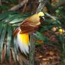 Диво дивное, чудо чудное от настоящей райской птицы
