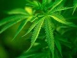 СМИ: Учёные США видят спасение от вируса Эбола в марихуане