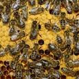 Огромный пчелиный рой остановил движение в центре Лондона