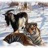 Тигр Амур и козел Тимур будут жить в разных вольерах