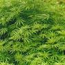 Сенат Бразилии рассмотрит законопроект о легализации марихуаны