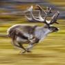 В Петербурге полицейские устроили лихую погоню за оленем на трассе