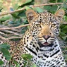 В приморском зоопарке на ребёнка напал леопард