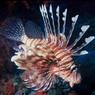 Стаи ядовитых рыб подбираются к берегам Турции и Кипра