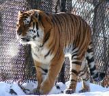 Тигру Устину устроят смотрины с невестой