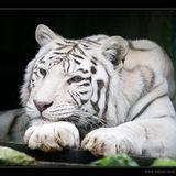 Посетитель китайского зоопарка поплатился жизнью за вылазку к голодному тигру