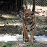 Тигрица в зоопарке научилась лепить снежные шары (ВИДЕО)