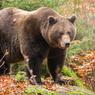 Медведь загнал финских военных в грузовики и съел их припасы